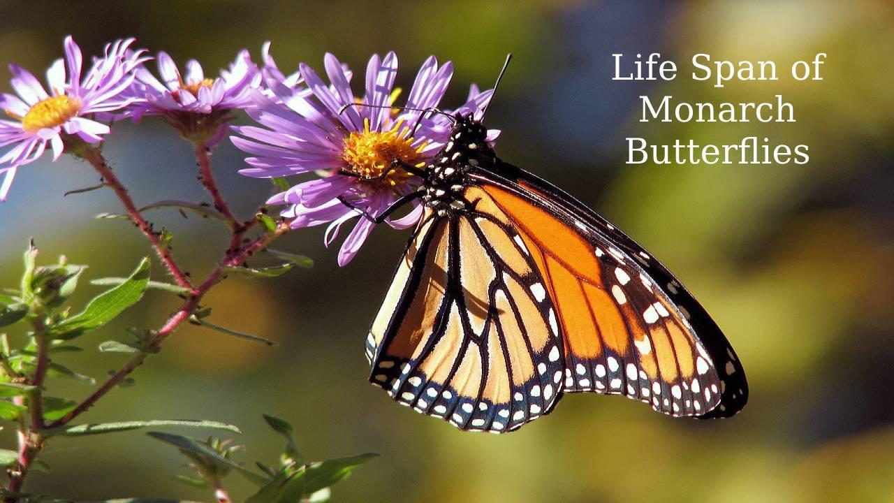 Life Span of Monarch Butterflies