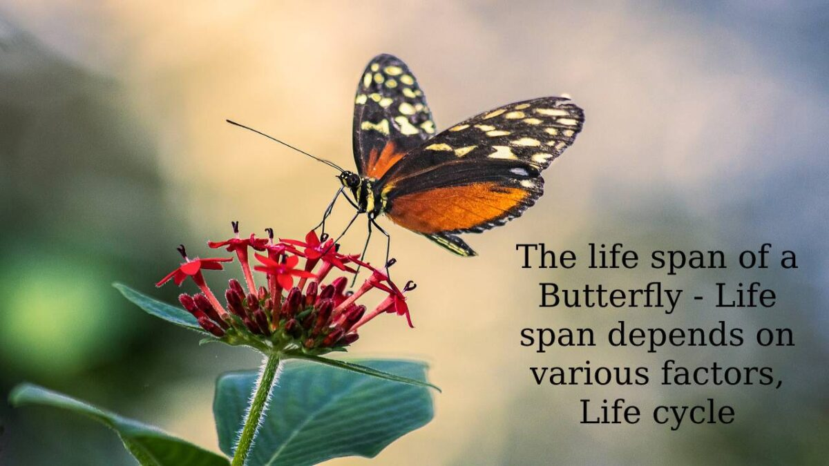 The life span of a Butterfly – Life span depends on various factors, Life cycle