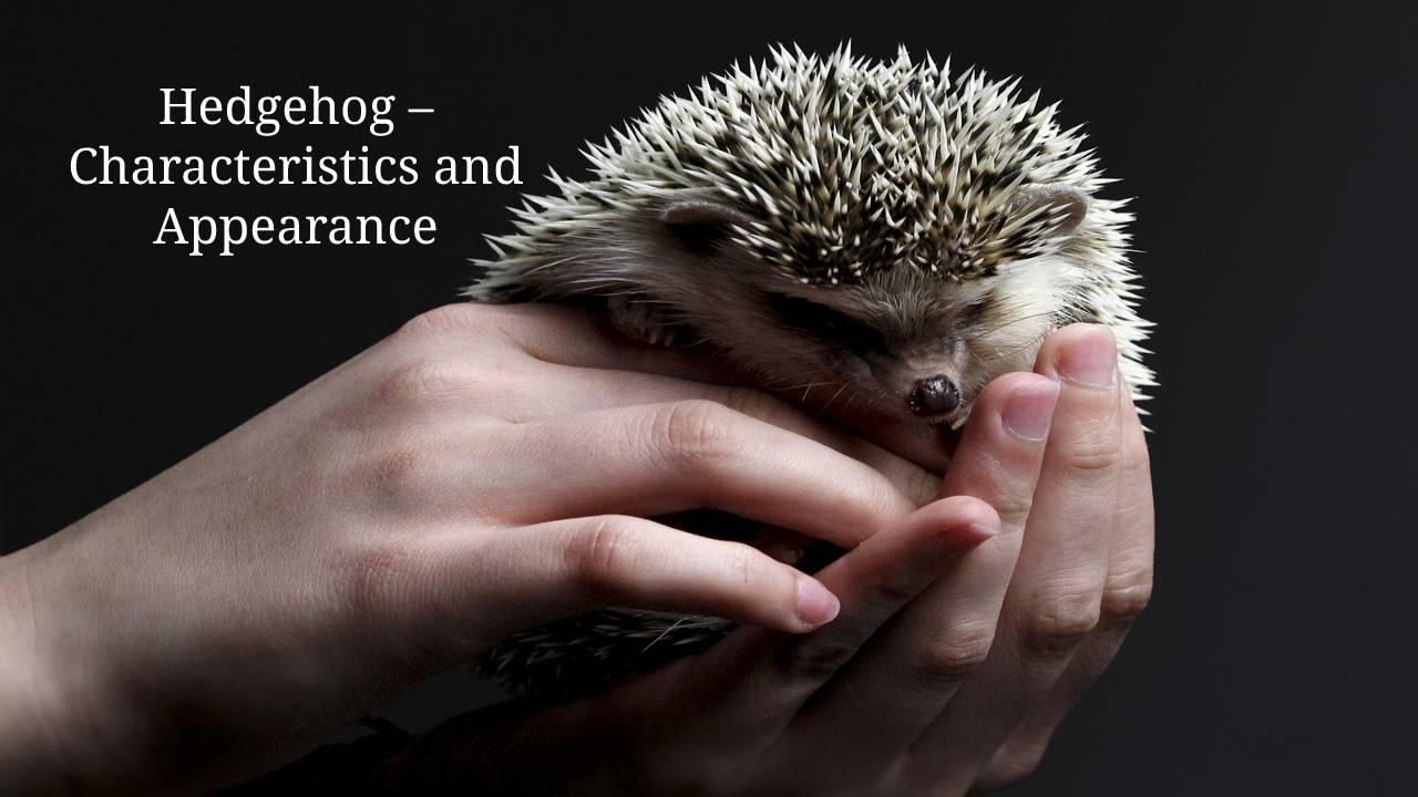 Hedgehog Characteristics and Appearance