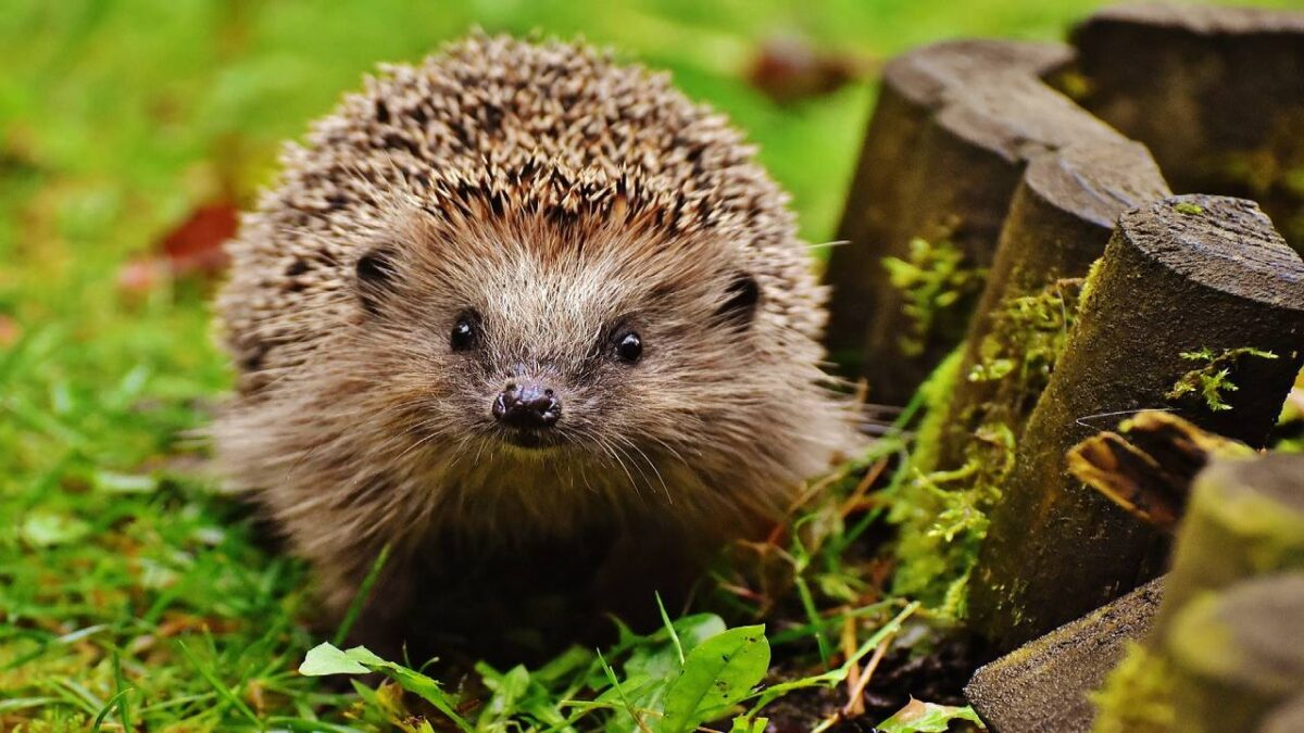 Hedgehogs – Characteristics, History, How long do they live?