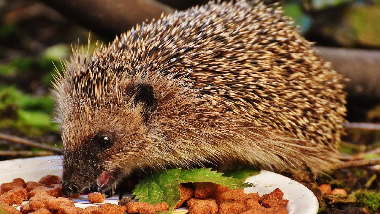 What does a Hedgehog eat